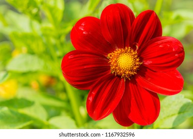 Close-up of a beautiful Red Dahlia (Dark Angel) Flower in the Morning Light