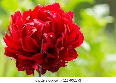 Close-up of a beautiful Red Dahlia Flower in the Morning Light