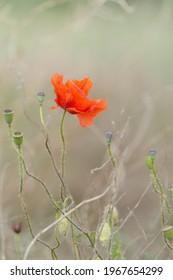 Closeup of a beautiful red poppy flower in a field, Dobrogea, Romania