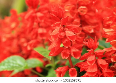 Closeup at Beautiful red salvia (Salvia splendens) or scarlet sage blooming in the garden with blurred green background.Botanical,natural and flower concept.