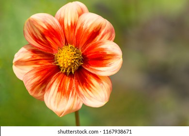 Close-up of a beautiful Red and white Colored Dahlia Flower.