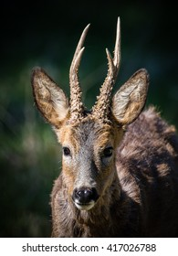 A closeup of a beautiful roebuck (Capreolus capreolus)  with his new antlers.