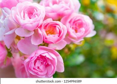 A close-up of beautiful roses