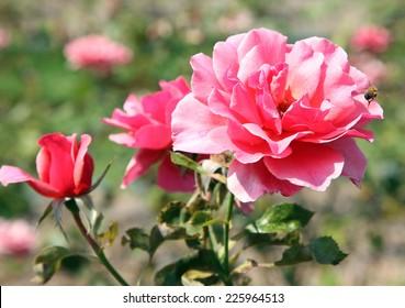 Closeup of beautiful roses in New Farm Park, Queensland, Australia