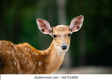 Closeup beautiful sika male deer or spotted deer on blur background looking at camera and enjoy sunbathe on hot summer day.