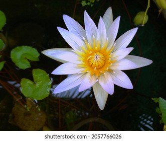Closeup, Beautiful single flower blossom blooming lotus with white petals and yellow stamens in pond for background or stockphoto , summer flowers, meditation plants