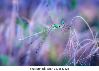 Close-up of beautiful small shiny green colored dragonfly resting on dry grass. Selective focus. Unfocused purple and lilac blooming meadow at background. Greeting card background with copy space.