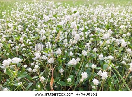 Closeup Beautiful Small White Flowers Grass Stock Photo Edit Now