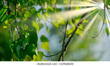 Closeup of beautiful spring branches of birch tree with green leaves. Real time 4K UHD video footage.