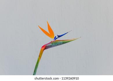 close-up of beautiful subtropical strelitzia Bird of Paradise plant shot in Queensland, Australia in summer