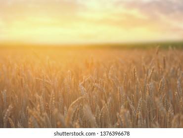 closeup beautiful summer wheat field at the sunset