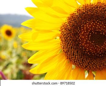 Close-up beautiful sunflower