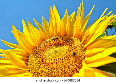 Close-up of a beautiful sunflower with few bees on a bright blue sky