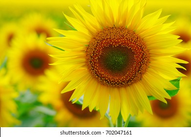 close-up of a beautiful sunflower in a field