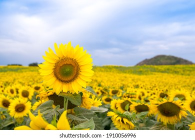 Close-up of a beautiful sunflower in filed of blooming sunflowers with a mountain on blue sky background. textured background , natural background.