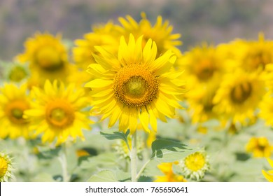 Closeup Beautiful of a Sunflower or Helianthus in Sunflower Field, Bright yellow sunflower Lopburi, Thailand