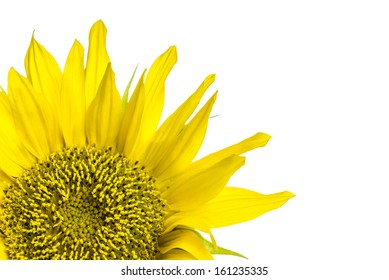 Closeup of beautiful sunflower. Over white background.