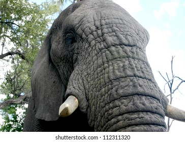 Closeup  of the beautiful textures of an adult elephant's trunk
