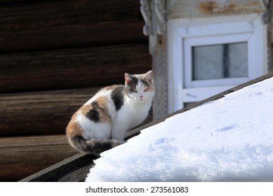 Close-up of a beautiful tri-color cat on the snow-covered roof of a barn in the village in the early spring