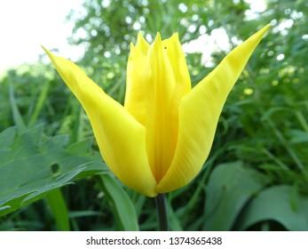 Closeup from beautiful tulip, macro