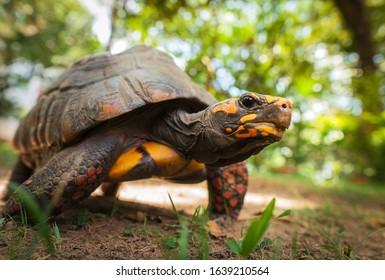 Closeup of a beautiful turtle portrait with yellow and orange skin and big black eyes walking around a natural green field, posing and looking at the camera