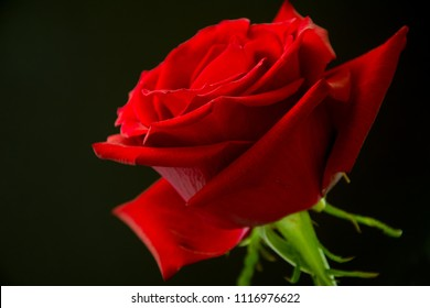 Closeup of beautiful, velvety red rose against black background