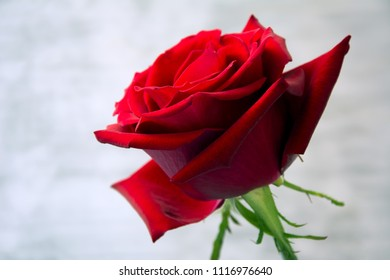 Closeup of beautiful, velvety red rose against white background