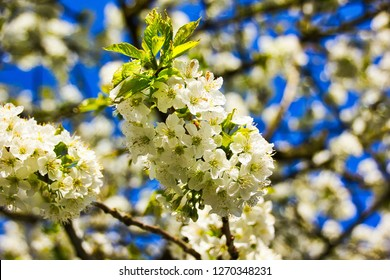 Close-up of beautiful white apple blossoms in spring