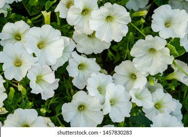 Close-up of beautiful white blooming petunia flowers (Petunia hybrida). Summer flower landscape, fresh wallpaper and nature background concept