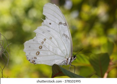 Close-up of a beautiful white butterfly