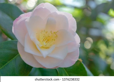 Close-up of a beautiful White Camellia April Blush (Camellia Japonica) in Spring. View of a white Camellia Flower on a sunny Morning.