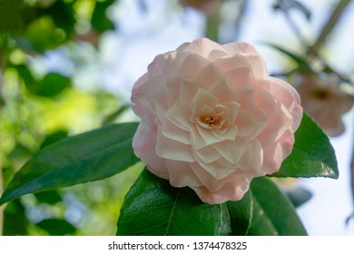 Close-up of a beautiful White Camellia Dionisia Poniatowski (Camellia japonica) in Spring.