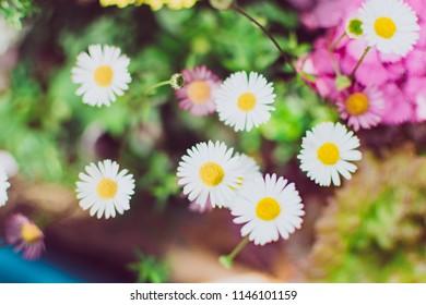 Closeup beautiful white daisy flower