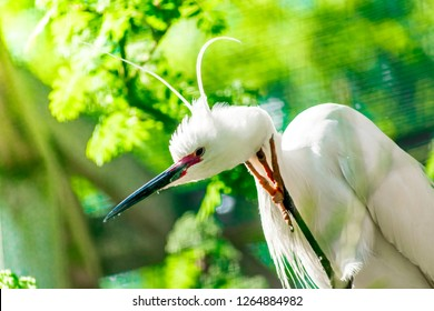 Closeup of Beautiful White Egret bird (Egretta garzetta)  Little egret staying and relaxing on tree branches, Green background