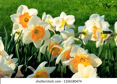 Close-up of beautiful white flowers of spring Narcissus