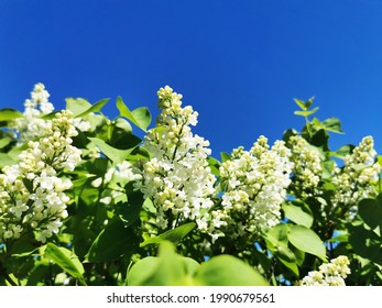 A closeup of beautiful white lilac on blue sky background, Larvik