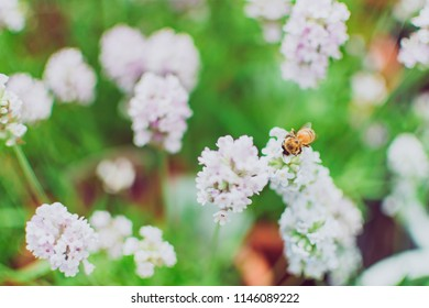 Closeup beautiful white and pink flower with bee