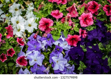 Closeup of Beautiful White, Pink, Lavender, and Deep Purple Petunias in a Country Garden outside of Amsterdam, Netherlands