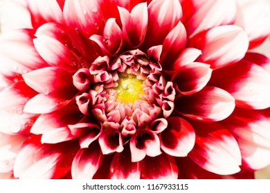 Close-up of a beautiful white and red Ball Dahlia Flower.