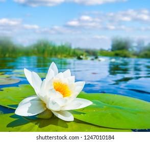 closeup beautiful white water lily floatin on a lake