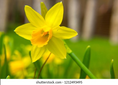 Closeup of beautiful yellow narcissus