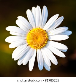 Closeup of a beautiful yellow and white Marguerite, Daisy flower