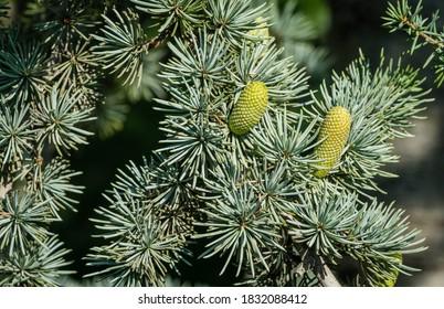 Close-up of beautiful yellowish green male cones on branches of Blue Atlas Cedar (Cedrus Atlantica Glauca tree) with blue needles in public landscape city Park Krasnodar (Galitsky) in sunny autumn