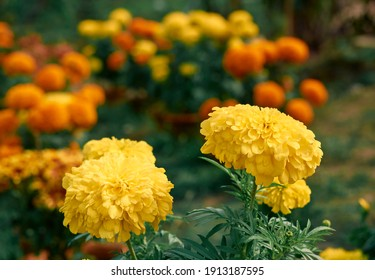 Closeup of beautiful yellow-orange marigold flower (Tagetes erecta, Mexican marigold, Aztec marigold, African marigold) bouquet in garden. Shot inside a nursery in West Bengal.