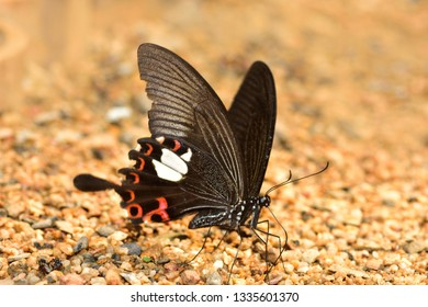 A close-up of  Beauty  butterfly resting on ground in nature