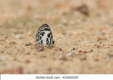 A close-up of Beauty butterfly resting on ground