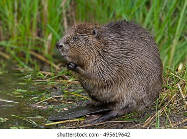 closeup Beavers sit in the water and chew food