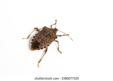 closeup of a bedbug (Cimex lectularius) on a white background