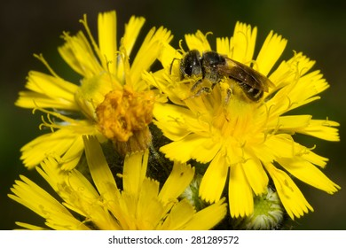 Close-up of a bee feeding on a yellow flower covered in pollen