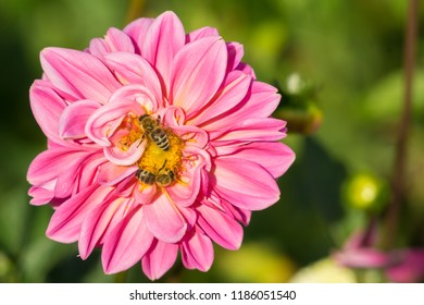 Close-up of a Bee on a beautiful Pink Dahlia (Asteraceae) Flower in the Morning Sun.